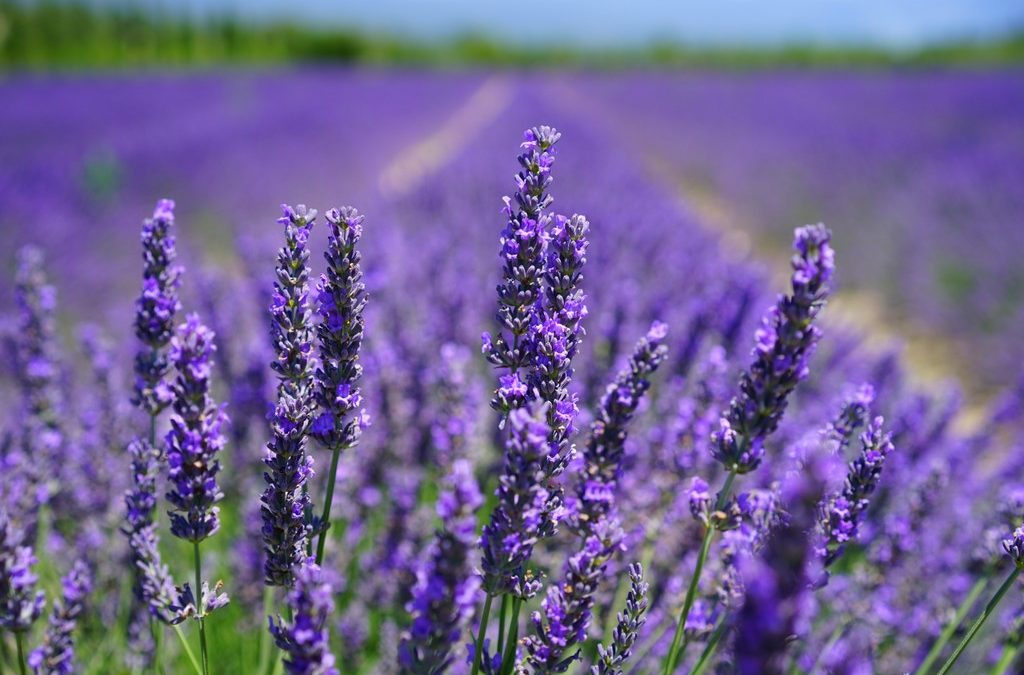 My New Obsession With Lavender Plus A New Privacy Policy