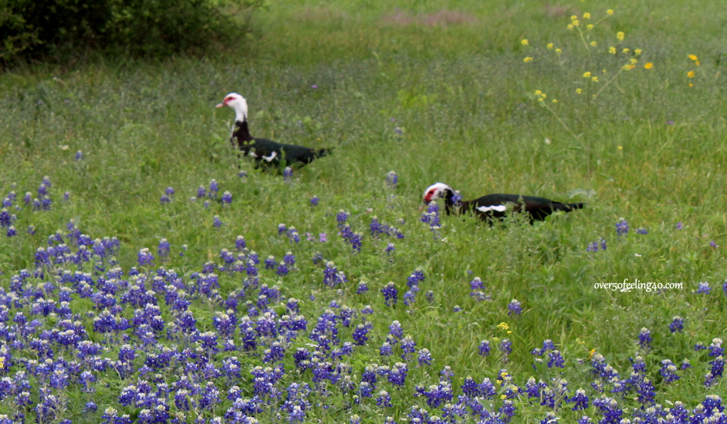 Pamela Lutrell shares Texas bluebonnerts