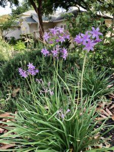 Spring Flowers in San Antonio Texas Spring 2020