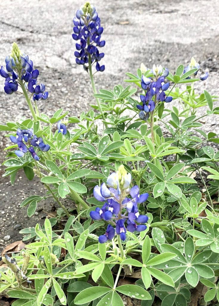 Texas Bluebonnets Spring 2020 on Over 50 Feeling 40