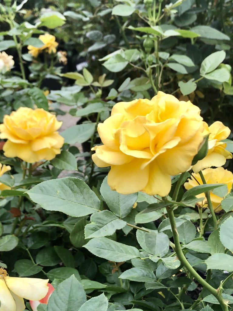 Yellow Roses on Over 50 Feeling 40